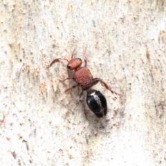 Ephutomorpha sp. (genus) (Mutillid wasp or Velvet 'ant') at Dryandra St Woodland - 9 Feb 2021 by ConBoekel