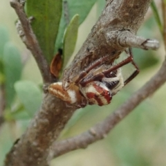 Opisthoncus sp. (genus) (Unidentified Opisthoncus jumping spider) at Mount Painter - 5 Feb 2021 by CathB