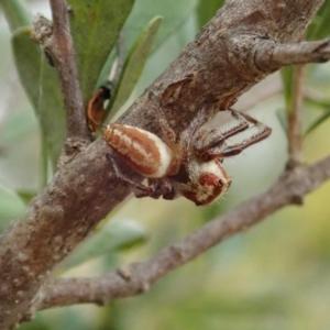 Opisthoncus sp. (genus) at Mount Painter - 5 Feb 2021