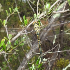Hemicordulia tau (Tau Emerald) at Kambah, ACT - 9 Feb 2021 by HelenCross