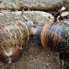 Cornu aspersum (Common Garden Snail) at Cook, ACT - 6 Feb 2021 by CathB