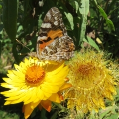 Vanessa kershawi (Australian Painted Lady) at ANBG - 7 Feb 2021 by Christine