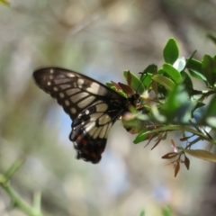 Papilio anactus (Dainty Swallowtail) at ANBG - 7 Feb 2021 by Christine