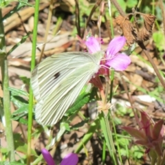Pieris rapae (Cabbage White) at ANBG - 7 Feb 2021 by Christine