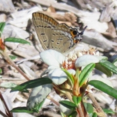Jalmenus ictinus (Stencilled Hairstreak) at ANBG - 7 Feb 2021 by Christine
