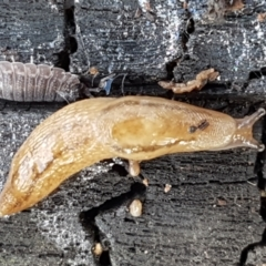 Ambigolimax nyctelia (Striped Field Slug) at Umbagong District Park - 10 Feb 2021 by tpreston