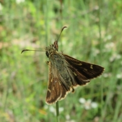 Dispar compacta (Barred skipper) at ANBG - 7 Feb 2021 by Christine