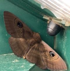 Dasypodia selenophora (Southern old lady moth) at Murrumbateman, NSW - 10 Feb 2021 by SimoneC