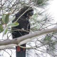 Calyptorhynchus lathami (Glossy Black-Cockatoo) at Wingello - 9 Feb 2021 by Aussiegall