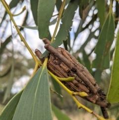 Clania sp. (genus) (A case moth) at Hughes, ACT - 10 Feb 2021 by JackyF