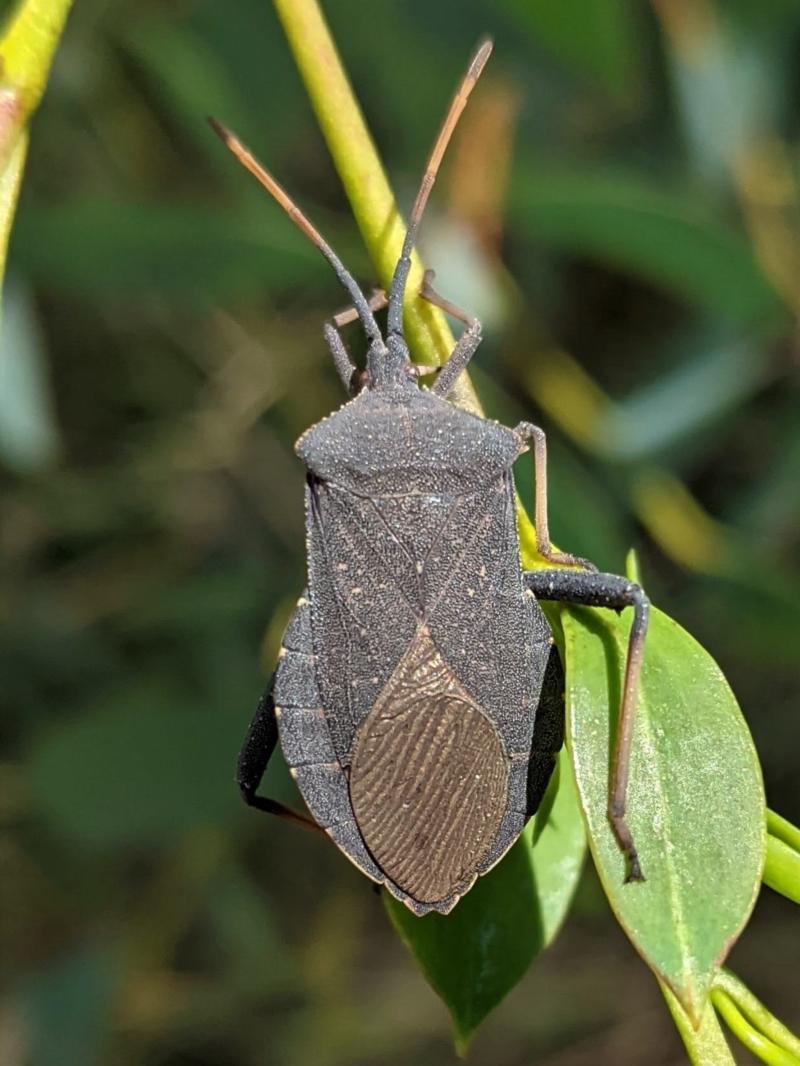 Amorbus sp. (genus) at Hughes Grassy Woodland - 10 Feb 2021