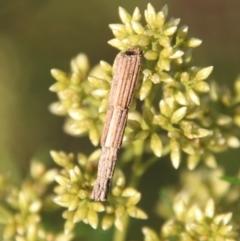 Lepidoscia arctiella (Tower Case Moth) at Deakin, ACT - 10 Feb 2021 by LisaH