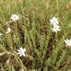 Rhodanthe anthemoides (Chamomile Sunray) at Kosciuszko National Park - 6 Feb 2021 by alex_watt