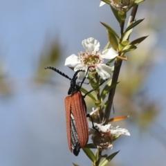 Porrostoma rhipidium (Long-nosed Lycid (Net-winged) beetle) at Acton, ACT - 9 Nov 2020 by AlisonMilton
