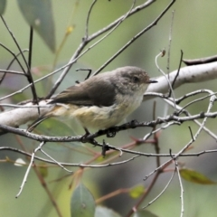 Acanthiza reguloides (Buff-rumped Thornbill) at Mount Ainslie - 12 Oct 2020 by AlisonMilton