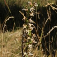 Prasophyllum viriosum (Stocky leek orchid) at Kosciuszko National Park - 6 Feb 2021 by alex_watt