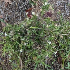 Vittadinia muelleri (Narrow-leafed New Holland Daisy) at Hughes Grassy Woodland - 10 Feb 2021 by JackyF