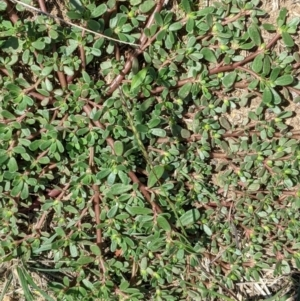 Portulaca oleracea at Deakin, ACT - 10 Feb 2021