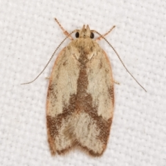 Garrha phoenopis (A Concealer moth) at Melba, ACT - 6 Feb 2021 by kasiaaus