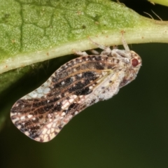 Massila sp. (genus) (Unidentified Massila planthopper) at Melba, ACT - 6 Feb 2021 by kasiaaus