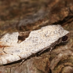 Armactica conchidia (Conchidia Moth) at Melba, ACT - 6 Feb 2021 by kasiaaus