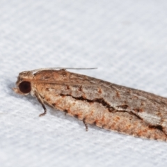 Meritastis undescribed species at Melba, ACT - 7 Feb 2021