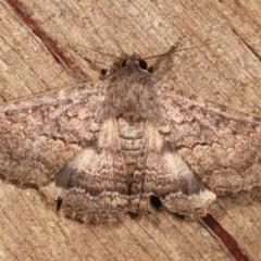 Eudesmeola lawsoni (Lawson's Night Moth) at Melba, ACT - 6 Feb 2021 by kasiaaus