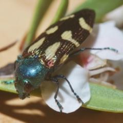 Castiarina flavopurpurea (A Jewel Beetle) at Nimmo, NSW - 7 Feb 2021 by Harrisi