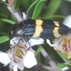 Castiarina bifasciata (Two-banded jewel beetle) at Nimmo, NSW - 7 Feb 2021 by Harrisi