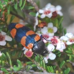 Castiarina thomsoni (A jewel beetle) at Kosciuszko National Park - 7 Feb 2021 by Harrisi