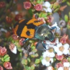 Castiarina delectabilis (A jewel beetle) at Kosciuszko National Park - 7 Feb 2021 by Harrisi