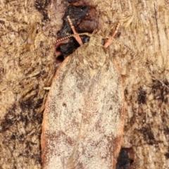 Garrha (genus) at Melba, ACT - 7 Feb 2021