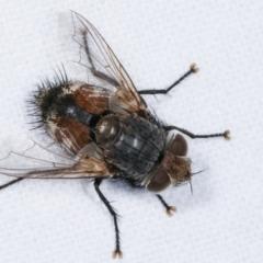 Chaetophthalmus sp. (genus) (TBC) at Melba, ACT - 6 Feb 2021 by kasiaaus