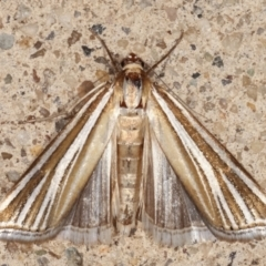 Hednota species near grammellus (Pyralid or snout moth) at Melba, ACT - 7 Feb 2021 by kasiaaus