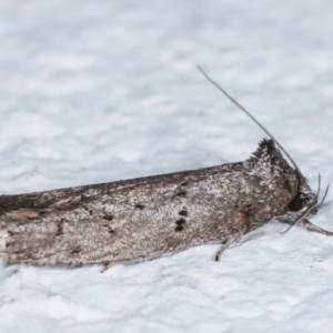 Oenochroa and Artiastis (genera) at Melba, ACT - 7 Feb 2021