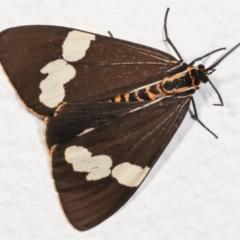 Nyctemera amicus (Senecio or Magpie moth) at Melba, ACT - 7 Feb 2021 by kasiaaus