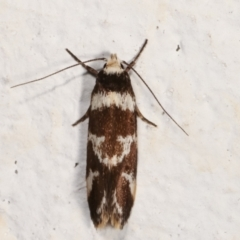 Isomoralla eriscota (A concealer moth) at Melba, ACT - 7 Feb 2021 by kasiaaus