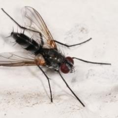Trigonospila sp. (genus) (TBC) at Melba, ACT - 7 Feb 2021 by kasiaaus