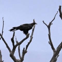 Aquila audax (Wedge-tailed Eagle) at Paddys River, ACT - 10 Feb 2021 by RodDeb