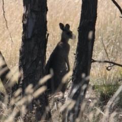 Macropus giganteus (Eastern Grey Kangaroo) at Industrial Estate Wetlands - 10 Feb 2021 by PaulF
