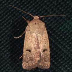 Proteuxoa tibiata (An Owlet moth) at Melba, ACT - 7 Feb 2021 by kasiaaus