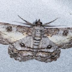 Cleora (genus) (A Looper Moth) at Melba, ACT - 7 Feb 2021 by kasiaaus