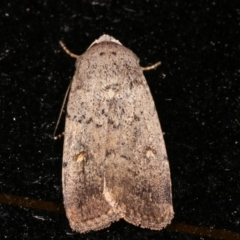 Proteuxoa (genus) (A Noctuid Moth) at Melba, ACT - 7 Feb 2021 by kasiaaus