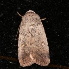 Proteuxoa (genus) (A Noctuid moth) at Melba, ACT - 7 Feb 2021 by kasiaaus
