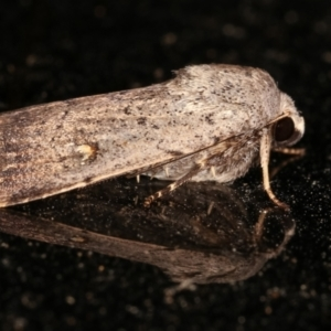 Proteuxoa (genus) at Melba, ACT - 8 Feb 2021