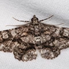 Cleora (genus) (A Looper Moth) at Melba, ACT - 8 Feb 2021 by kasiaaus