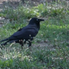 Corvus coronoides (Australian Raven) at Albury - 10 Feb 2021 by PaulF
