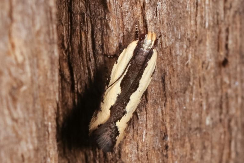 Ardozyga mesochra and similar species at Melba, ACT - 8 Feb 2021