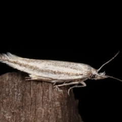 Gelechioidea (superfamily) (Unidentified Gelechioid moth) at Melba, ACT - 8 Feb 2021 by kasiaaus