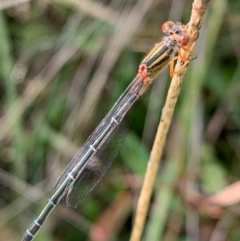 Xanthagrion erythroneurum (Red & Blue Damsel) at Murrumbateman, NSW - 11 Feb 2021 by SimoneC